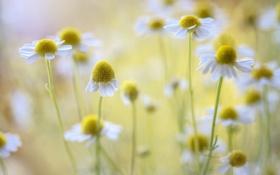 Обои цветы, ромашки, белые, цветение