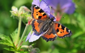 Обои цветок, макро, бабочка, Крапивница обыкновенная