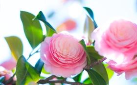 Обои цветение, розовая, лепестки, листья, Camellia, камелия, бутон