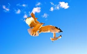 Обои небо, облака, птицы, крылья, чайка