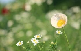 Картинка трава, лето, мак, зелень, лепестки, ромашки, тепло