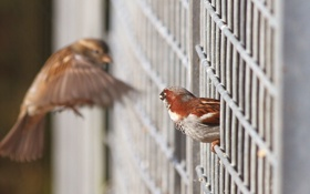 Обои птицы, сетка, забор, фокус, решетка, воробьи