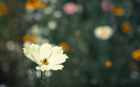 Картинка цветок, фон, насекомое, белая, космея