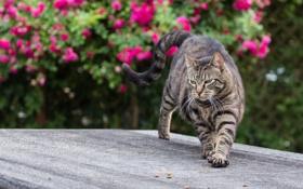 Обои лето, кот, котик, когти, котяра, потягушки