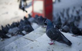 Картинка птица, сизый, голубь, размытость