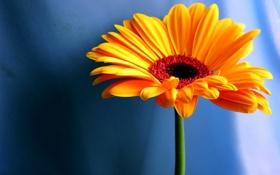 Обои цветок, оранжевый, фон
