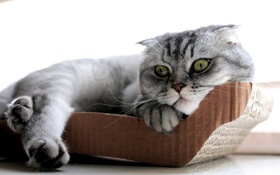 Картинка кошка, Шотландская вислоухая, Скоттиш-фолд