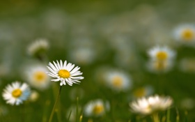 Картинка поле, лето, цветы, природа, фото, обои, ромашки