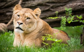 Обои кошка, трава, взгляд, ветка, львица
