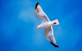 Обои небо, полет, птица, крылья, чайка