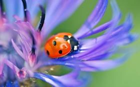 Обои цветок, божья коровка, жук, насекомое