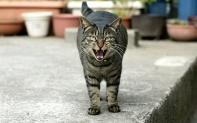 Обои кот, улица, зубы