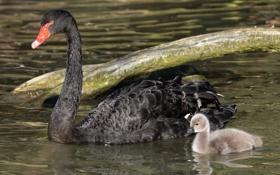 Картинка вода, малыш, семья, пара, мама, птенец, черный лебедь