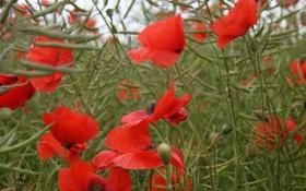 Картинка трава, цветы, природа, маки, красные