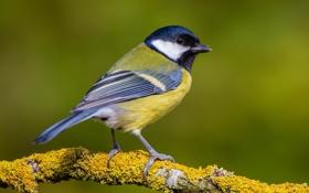 Обои птица, ветка, синица
