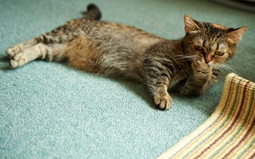 Обои кошка, кот, комната, лапа, на полу, умывание, лежа