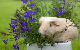 Обои цветы, морская свинка, лобелия