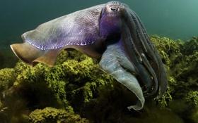 Обои мир, underwater, Подводный, Кальмар