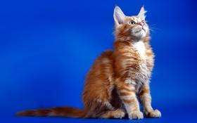 Обои кошка, фон, рыжая