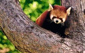 Обои дерево, панда, кора, firefox, красная, боке, злая