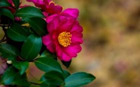 Обои листья, цветок, кустарник, ветки, камелия, алый