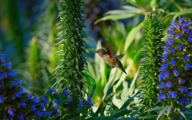 Обои природа, Hummingbird, Garden