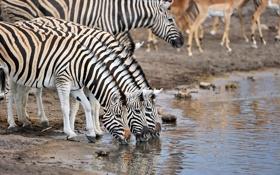 Обои природа, водопой, зебры
