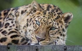 Обои леопард, кошка, амурский, морда
