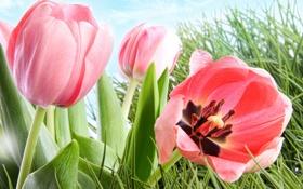 Обои листья, тюльпаны, трава