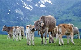 Картинка Животные, Коровы, буйволы