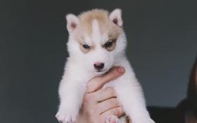 Картинка собака, щенок, хаски