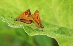 Картинка бабочки, насекомые, лист