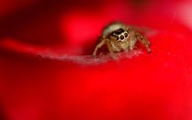 Обои паук, красный фон, джампер