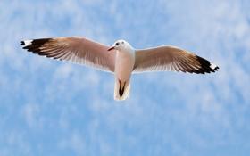 Обои птица, полёт, чайка