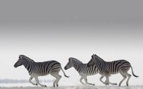 Обои серый фон, зебра, светлый, бег, стадо