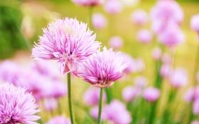 Картинка клевер, цветы, боке