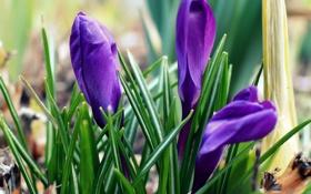 Обои весна, крокусы, синие