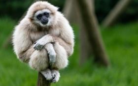 Картинка Белорукий гиббон, обезьяна, сидит, взгляд
