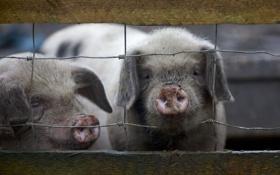 Обои two, little, fence, farm, piggies
