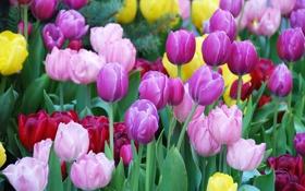 Картинка тюльпаны, клумба, разноцветные