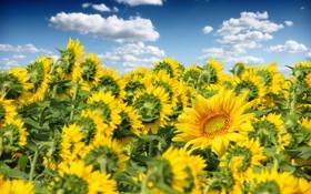 Обои поле, небо, облака, подсолнухи, цветы