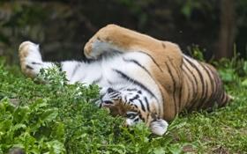 Обои кошка, трава, тигр, отдых, амурский, ©Tambako The Jaguar