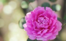 Обои капли, блики, роса, лепестки, вода, розовый, цветок
