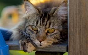 Обои кошка, глаза, кот, взгляд, кошак