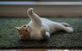 Обои кошка, ковер, пол, лежа, Ben Torode, Hannah, Benjamin Torode