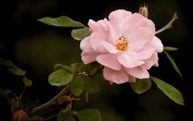 Обои листья, ветка, лепестки, шиповник, дикая роза