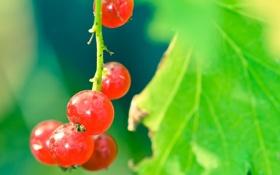 Обои зелень, макро, лист, роса, красная, Смородина
