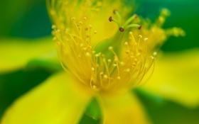 Картинка цветок, макро, желтый, лепестки, тычинки, пестики