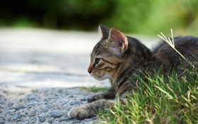Обои кошка, трава, кот, улица, лежа