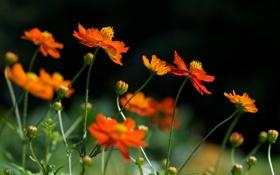 Обои трава, лето, растения, оранжевые, желтые, цветы
